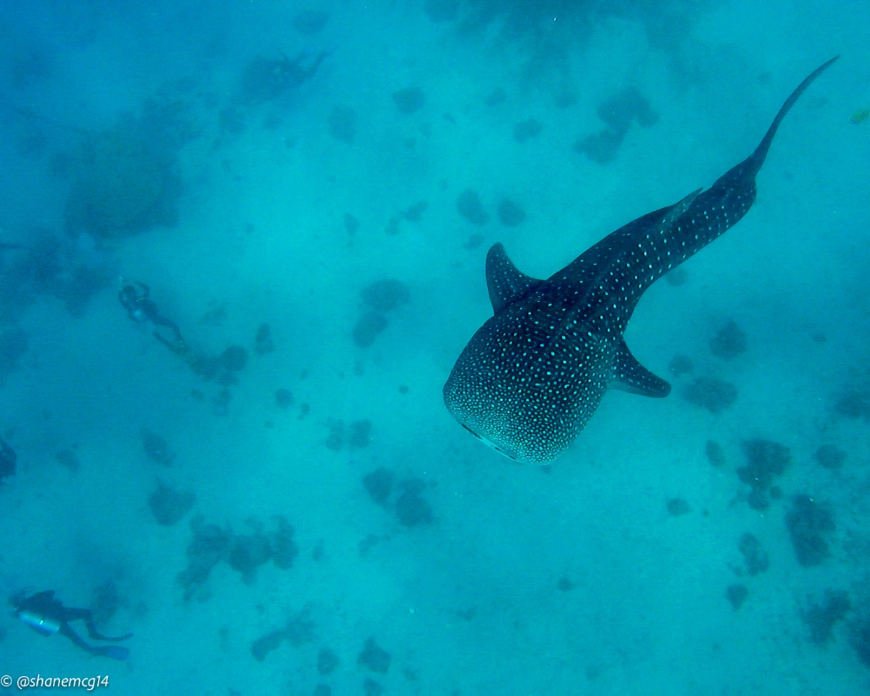 Swimming with Whale Sharks inOslob